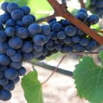 Pinot Noir una cepa delicada, selecta y refinada