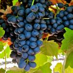 La uva Shiraz o Syrah un sabor intenso y un origen desconocido