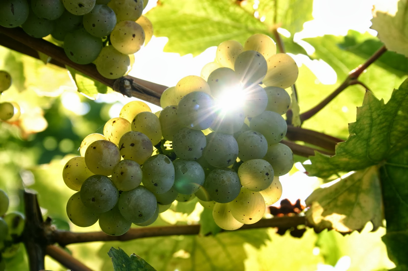008_Rieslingtraube_im_Oktober___Riesling_grape_in_October