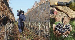 ¿Qué tanto sabes del vino orgánico y biodinámico?