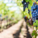"""""""Born to be Wine"""" y la celebración de las uvas nuevas"""