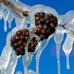 Vino de hielo… la magia del frío