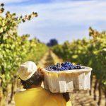 """La vendimia, el """"momento"""" del vino"""
